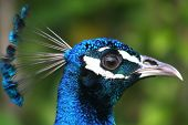 Portrait of a colorful male peacock posing poster