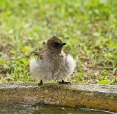 Common Bulbul on edge of water pool after bathing poster