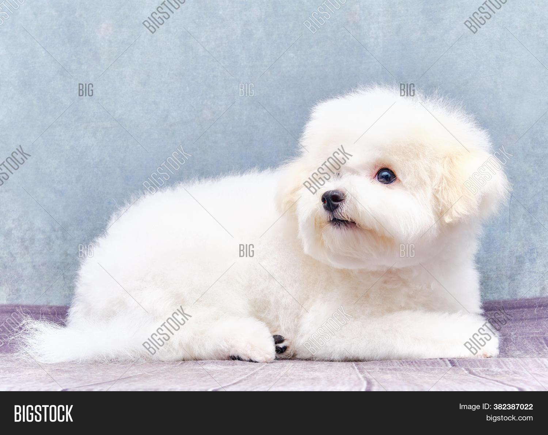 Bichon Frise Puppy Image Photo Free Trial Bigstock