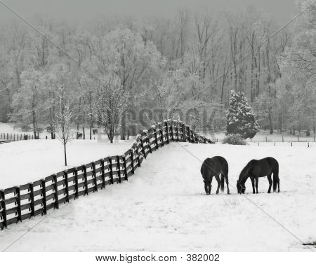 horses in snowy rolling meadow with rail fence and snow on the trees in background poster