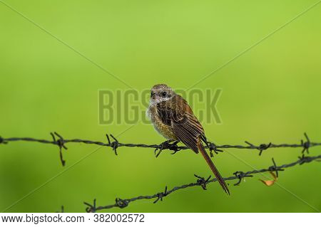 Long Tailed Shrike Or Rufous Backed Shrike Juvenile Bird Portrait Perched On Iron Fence In Natural G