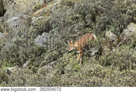 Rare And Endangered Ethiopian Wolf (canis Simensis) In Bale Mountains, Ethiopia.