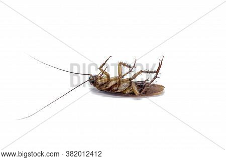 Cockroaches Are Carriers Of The Disease In Thailand