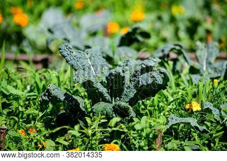 Large Group Of Fresh Green Leaves Of Kale Or Leaf Cabbage In An Organic Garden, With Small Water Dro