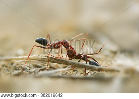 Hardworking Ant Carrying A Dead Auspicious, Wildlife Concept