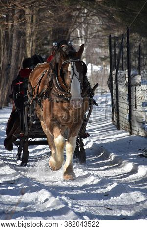 Sweet Draught Horse Pulling A Sleigh Through The Snow.