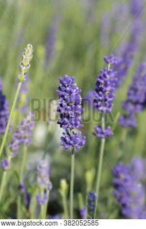 English Lavender Hidcote - Latin Name - Lavandula Angustifolia Hidcote