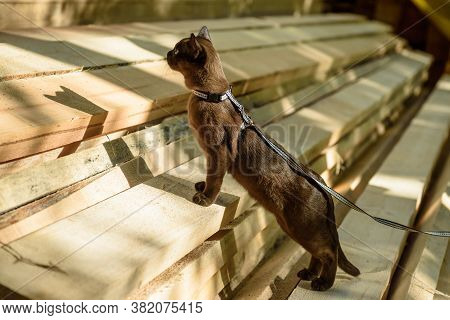 Burma Cat With Leash Walking On Lumber, Playful Collared Pet Looks At Wood Planks Outdoor. Burmese K