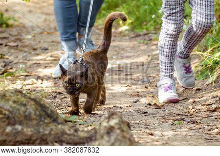 Burmese Cat With Leash Walking Outside, Collared Pet Wandering Outdoor Adventure. Burma Cat Wearing