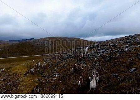 Reindeer Run Through The Hills Of The Tundra. Natural Reindeer Herds.