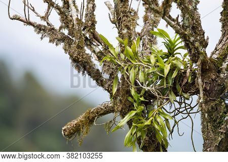 Wild Orchid And Moss Perching On The Branch Under The Blue Sky In High Mountain In Tropical Moist Mo