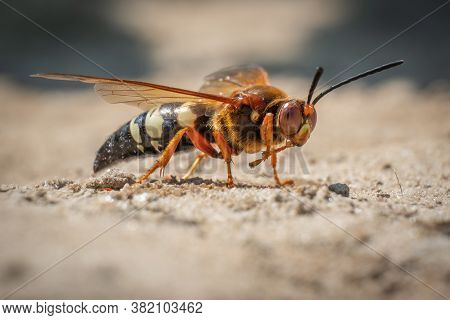 This Frightening Looking Insect Looks Like A Hornet, But It's Actually A Cicada Killer Wasp. They Do