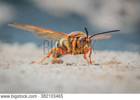 This Intimidating Looking Insect Looks Like A Hornet, But It's Actually A Cicada Killer Wasp. They D