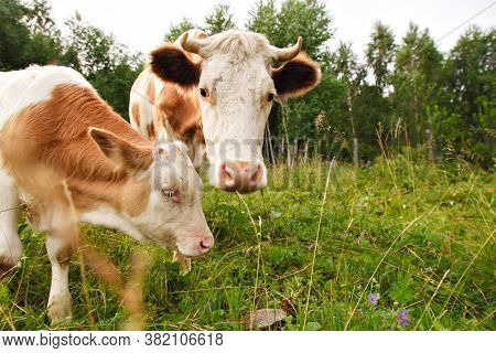 Cow Grazing On A Green Meadow. Large Horned Livestock Eats The Grass. Animals Close Up. Concept Of M