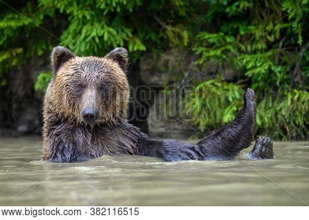 Funny Wild Adult Brown Bear ( Ursus Arctos ) In The Water