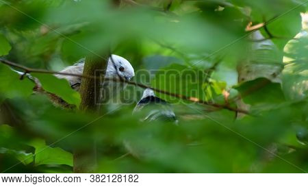 Pair Of Longtailed Tit Playing In The Deep Green Bush. Blured Leafs Frame Around The Birds