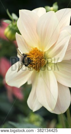 Bumble Bee On Dahlia Flower Close - Up View