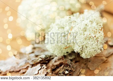 nature, environment and botany - close up of reindeer lichen moss on pine tree bark
