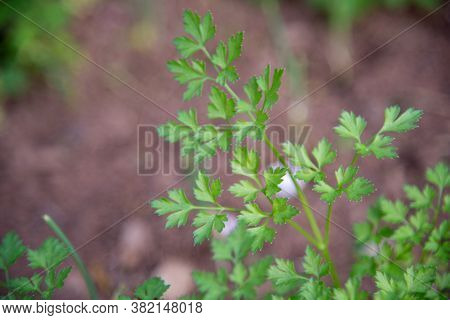 Parsley (petroselinum Crispum (mill.) Is A Biennial Herbaceous Plant, Native To The Central Mediterr