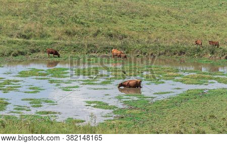 Oxen And Cows Inside A Lake On An Agricultural Production Farm