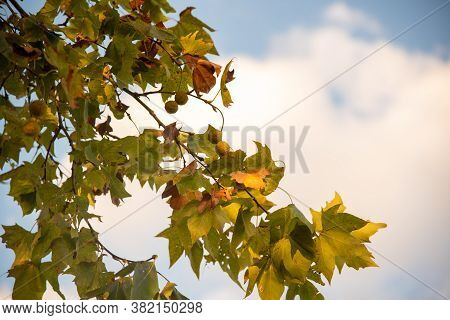 Leaves And Twig Of The Maple Tree In Contrast To The Late Afternoon