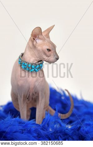 Cat Sphinx In A Blue Necklace On The Neck