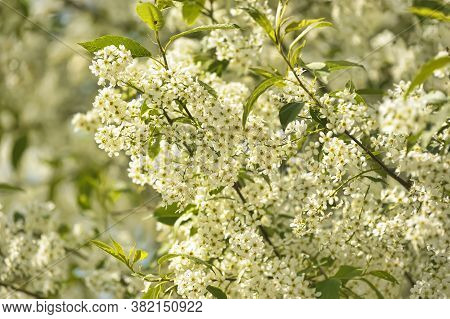 Spring Greeting Card, Blossom Bird Cherry. Close-up Of A Turtle Branch, Brightly Lit Against The Sky