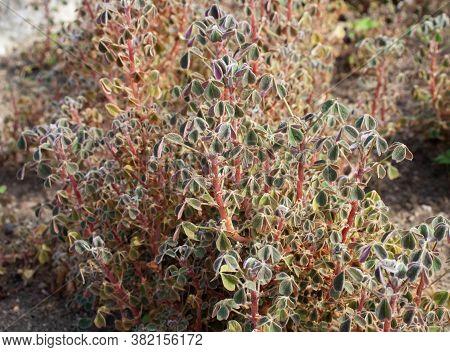 Oca Or Yam Root Vegetable Plant. Oxalis Tuberosa.