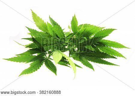 Marijuana Plant Isolated