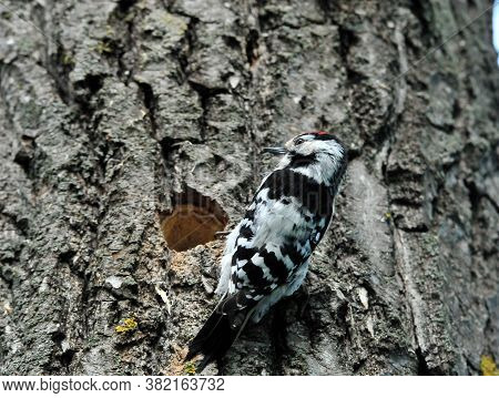 Lesser Spotted Woodpecker. Woodpecker Sitting On A Tree Near The Hollow.