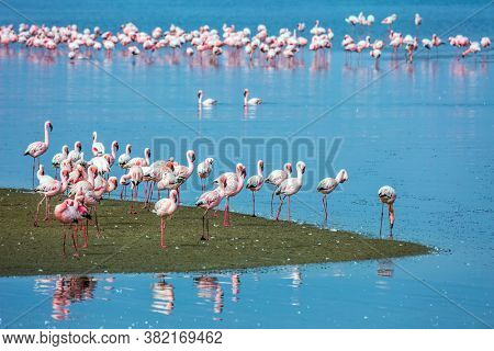 Soloist. Flock of white and pink flamingos feed themselves in coastal silt. Namibia. Sunrise. Concept of eco-friendly, active, photo tourism and bird watching