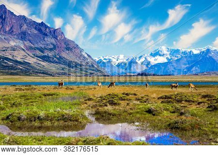 Small herd of guanaco. Los Glaciares is Argentina's most beautiful natural park. The hurricane wind of Patagonia. The lake with azure water, steppe of Patagonia and cold mountains.