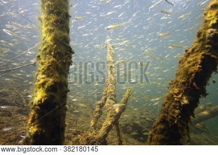 Perch (perca Fluviatilis) Commonly Known As The European Perch, Screed Underwater Shoal. A Large Sho