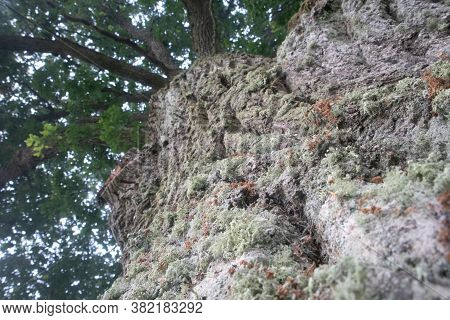 Beautiful Oak Tree Trunk With Harsh Bark. Big Tree In The Park. Natural Scenery