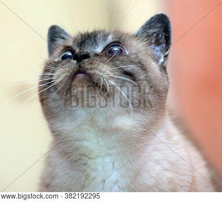 Elderly 17 Year Old Siamese Cat Close Up