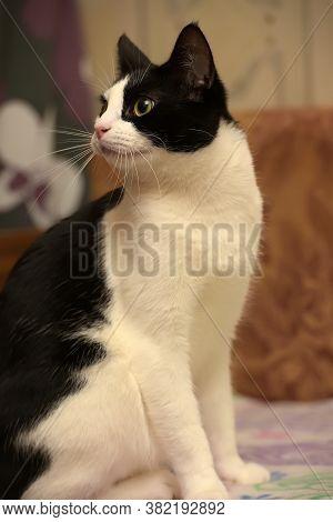 Black And White European Shorthair Cat Close Up
