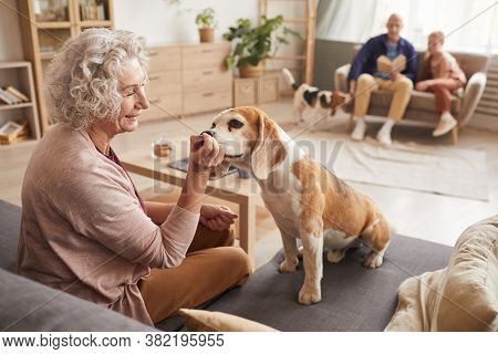 Warm Toned Portrait Of Smiling Senior Woman Playing With Loved Pet Dog While Sitting On Couch In Coz