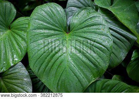 Many Droplets On Water Fern Leaves In Rainy Day With Dark Background