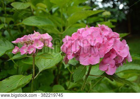 Beautiful Flower Violet Sun.symbol Of The Princess Of The Sacred Roman Empire - A Hydrangea.