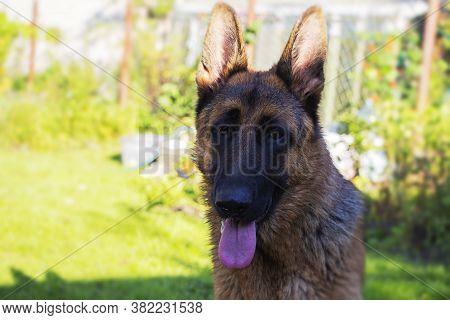 German Shepherd Portrait Of A German Shepherd. Pets