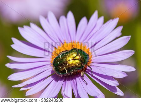 Green Rose Flower Chafer In Latin Cetonia Aurata - Insect Sitting And Pollinated  Flower