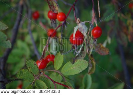 Close-up Of Dog-rose Berries. Dog Rose Fruits. Rosa Canina. Wild Rosehips In Nature.
