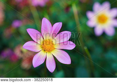 Cosmos Bipinnatus, Purple Flower Close-up, Selective Focus, Shallow Dof.