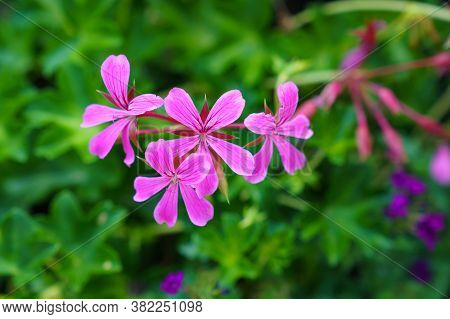 Geraniums In A Pink Twining Not Hardy Summer Flower. Shallows Dof