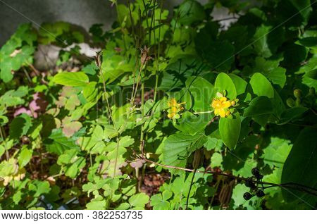 Close-up Of A Shrubby Saint John`s Wort With Yellow Blossoms