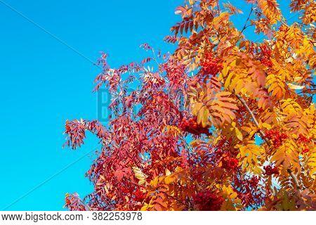 Autumn Landscape. Red Rowan Trees Against A Blue Sky On A Sunny Day.