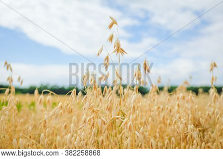 Ripe Ears Of Oats Against A Sky. Concept Of Harvest, Fertility, Prosperity. Selective Focus