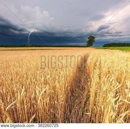 Rye Field With Dramatic Sky And Lightning In The Background. Dramatic Overcast Sky In The Fields.