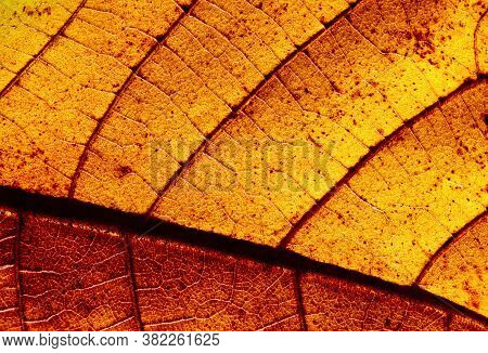 Macro Shot Of Yellow Hickory Tree Leaf In Autumn