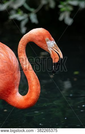 Close Up Portrait Of An American Flamingo, Large Water Bird Profile